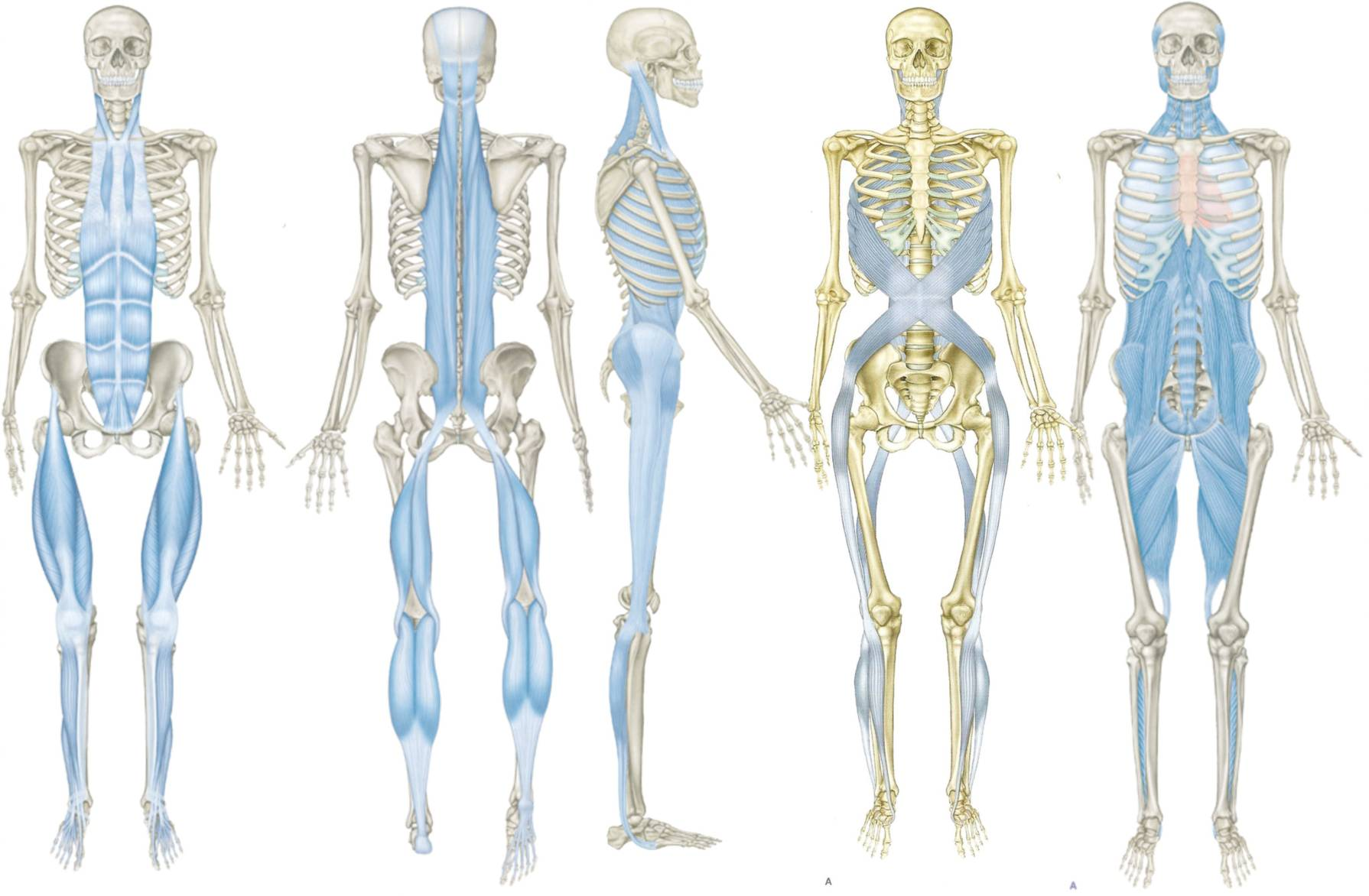 Fascial Stretch Therapy Fascial Lines